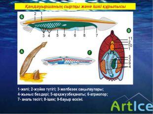Қандауыршаның сыртқы және ішкі құрылысы 1-желі; 2-жүйке түтігі; 3-желбезек са