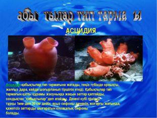 АСЦИДИЯ Асцидия-қабықтылар тип тармағына жатады, теңіз түбінде орнықты, жалғы