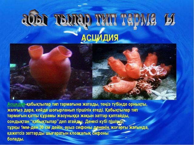 АСЦИДИЯ Асцидия-қабықтылар тип тармағына жатады, теңіз түбінде орнықты, жалғы...