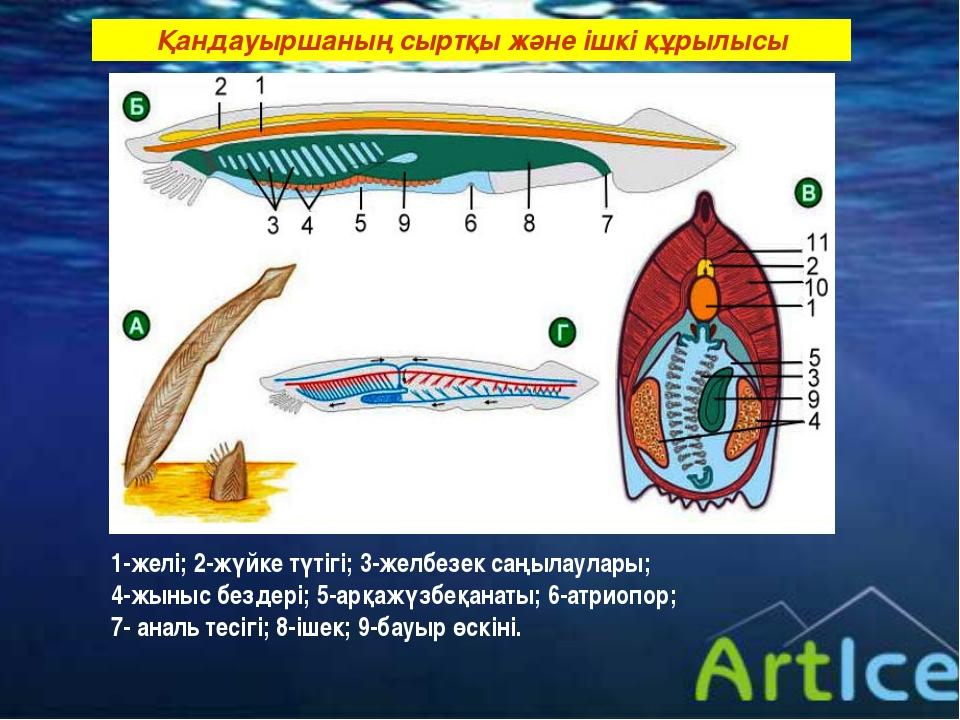 Қандауыршаның сыртқы және ішкі құрылысы 1-желі; 2-жүйке түтігі; 3-желбезек са...