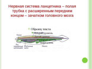Нервная система ланцетника – полая трубка с расширенным передним концом – зач