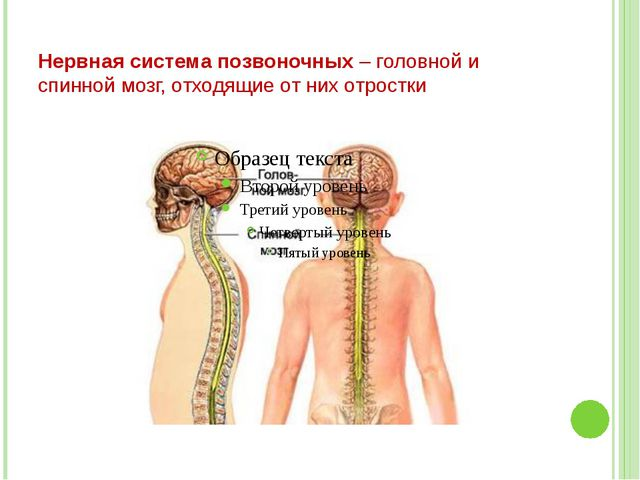 Нервная система позвоночных – головной и спинной мозг, отходящие от них отростки
