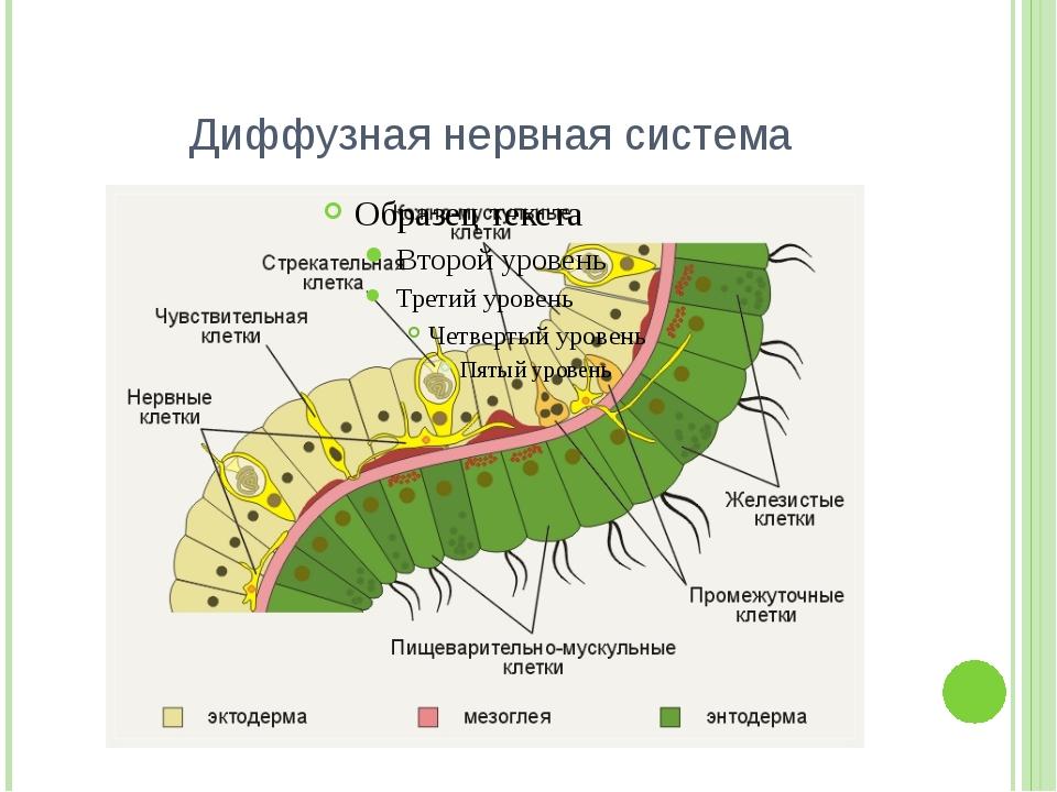 Диффузная нервная система
