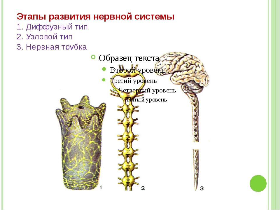 Этапы развития нервной системы 1. Диффузный тип 2. Узловой тип 3. Нервная трубка