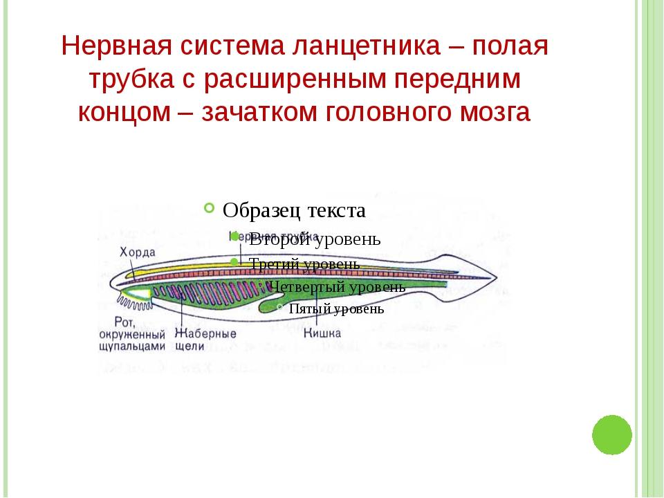 Нервная система ланцетника – полая трубка с расширенным передним концом – зач...