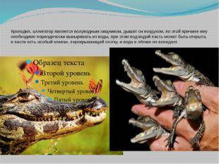 Крокодил, аллигатор является полуводным хищником, дышит он воздухом, по этой