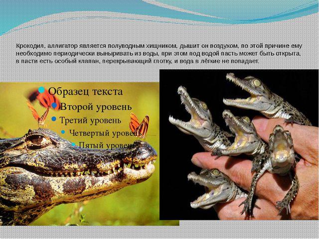 Крокодил, аллигатор является полуводным хищником, дышит он воздухом, по этой...