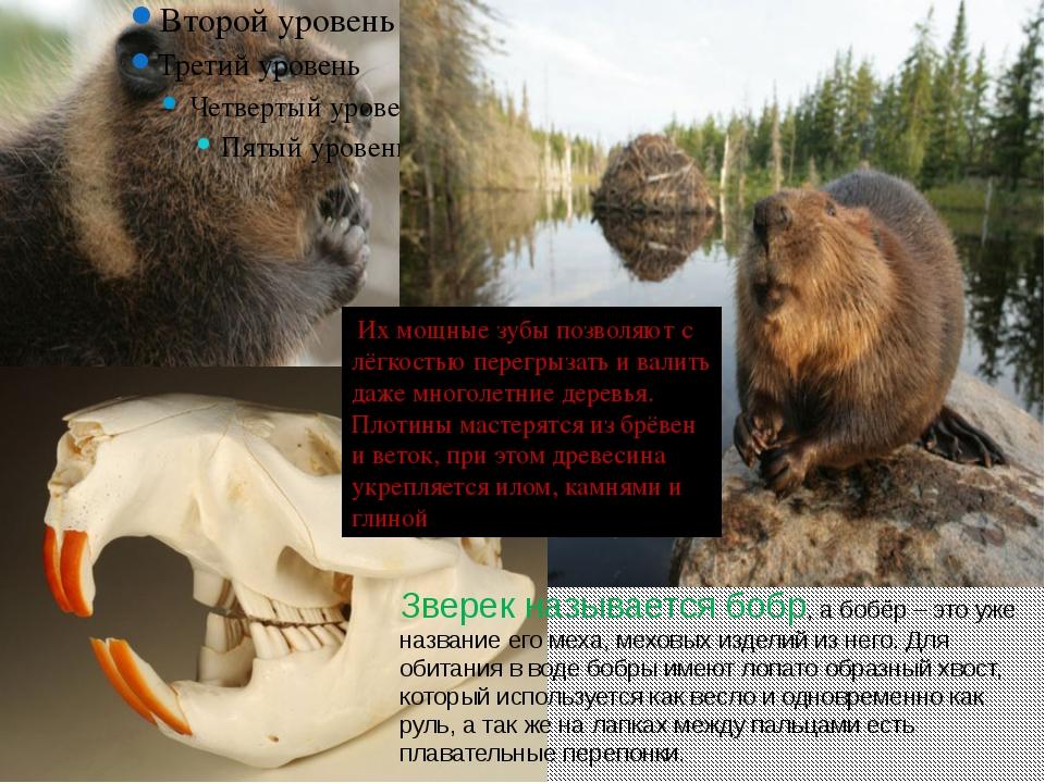 Зверек называется бобр, а бобёр – это уже название его меха, меховых изделий...