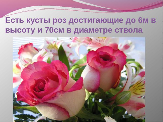 Есть кусты роз достигающие до 6м в высоту и 70см в диаметре ствола