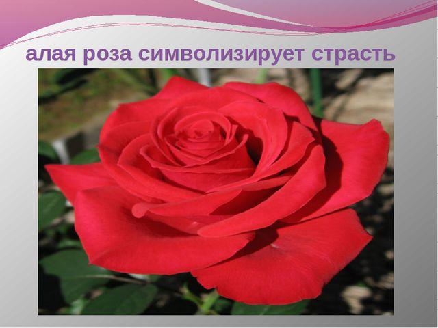 алая роза символизирует страсть