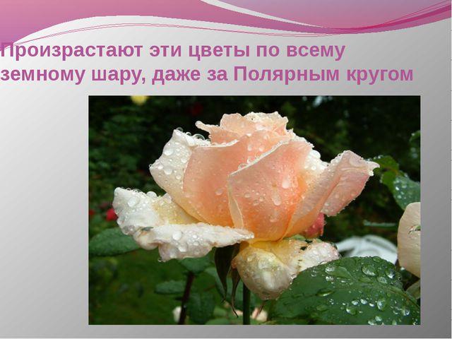 Произрастают эти цветы по всему земному шару, даже за Полярным кругом