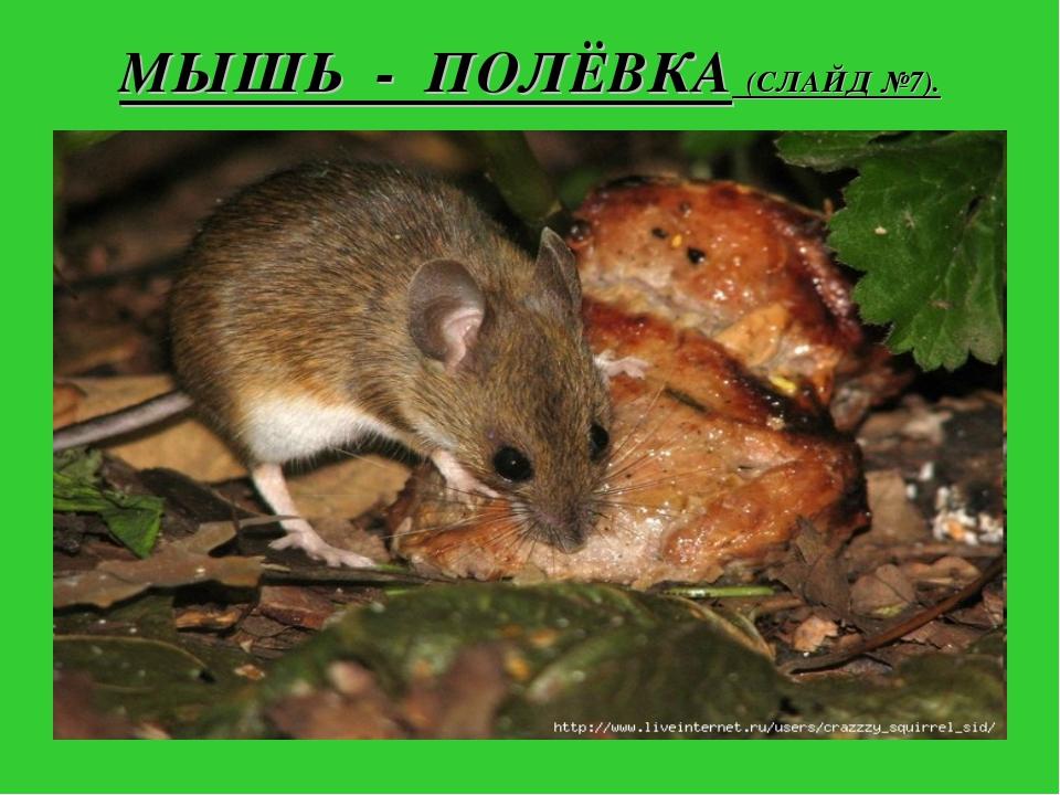МЫШЬ - ПОЛЁВКА (СЛАЙД №7).