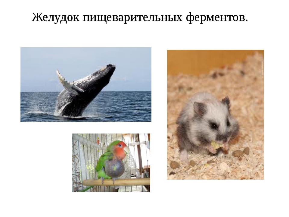 Желудок пищеварительных ферментов.