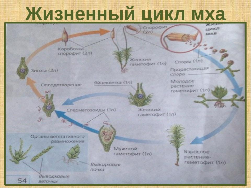 Жизненный цикл мха