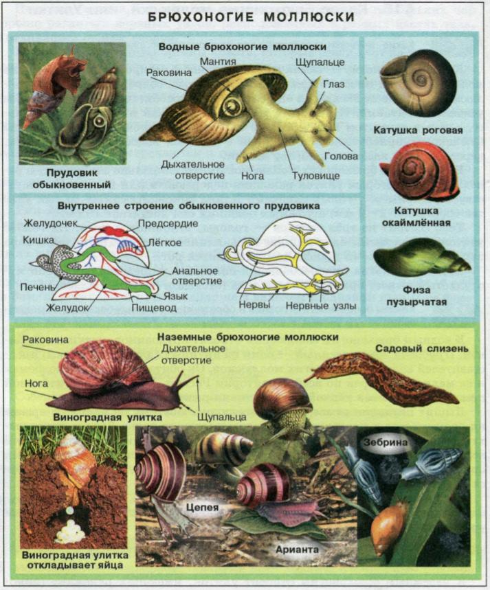Водные и наземные брюхоногие моллюски