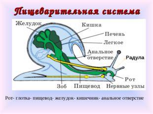 Пищеварительная система Радула Рот- глотка- пищевод- желудок- кишечник- аналь