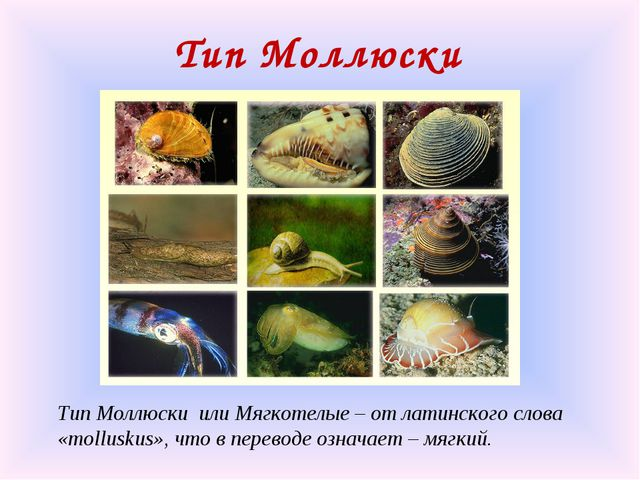 Тип Моллюски Тип Моллюски или Мягкотелые – от латинского слова «molluskus», ч...