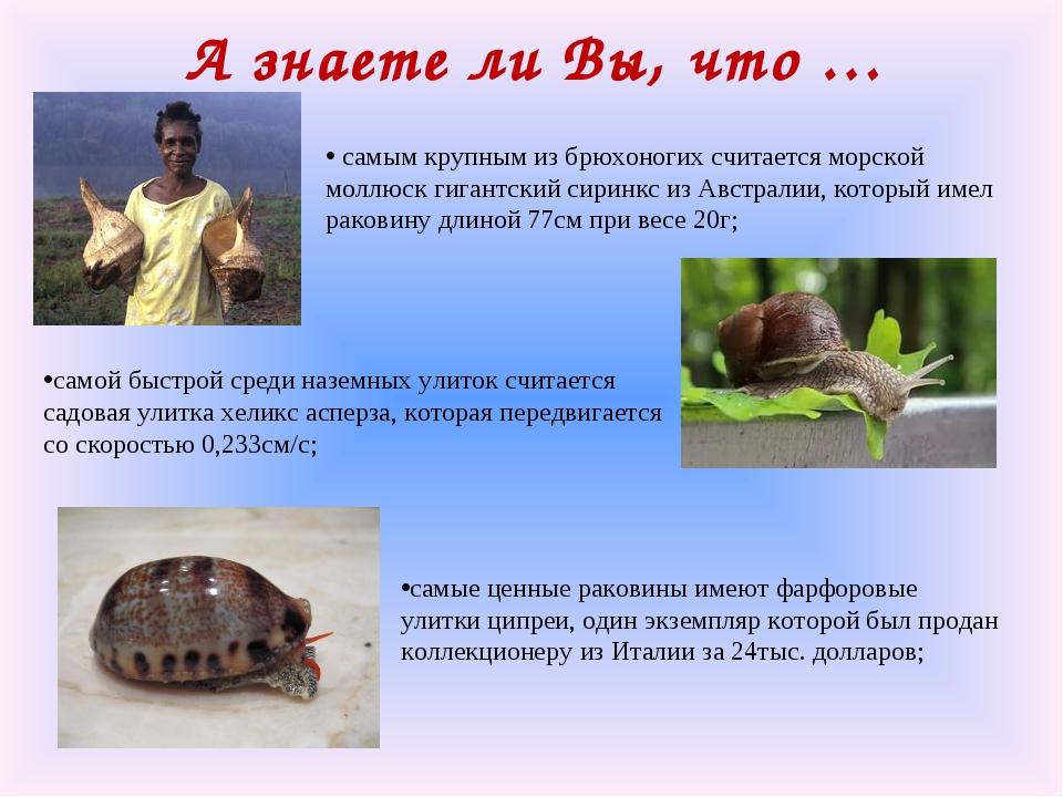 А знаете ли Вы, что … самым крупным из брюхоногих считается морской моллюск г...