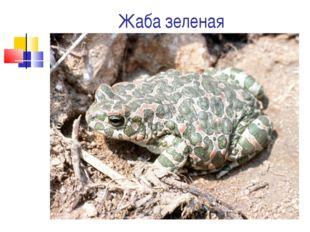 Жаба зеленая