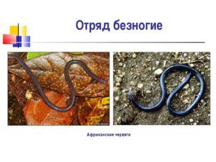 Отряд безногие Африканские червяги