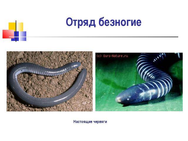 Отряд безногие Настоящие червяги