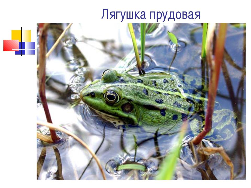 Лягушка прудовая