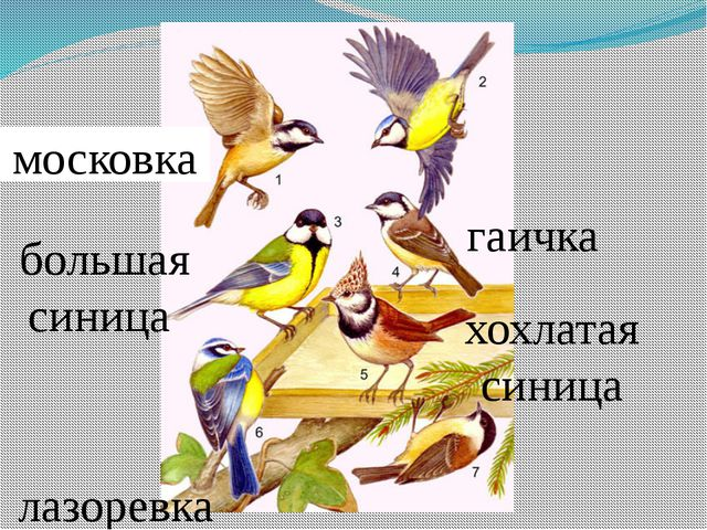 московка лазоревка большая синица хохлатая синица гаичка