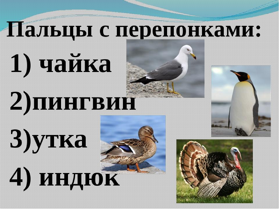 Пальцы с перепонками: 1) чайка 2)пингвин 3)утка 4) индюк