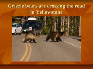 Grizzle bears are crossing the road in Yellowstone
