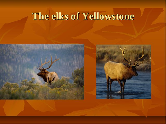 The elks of Yellowstone