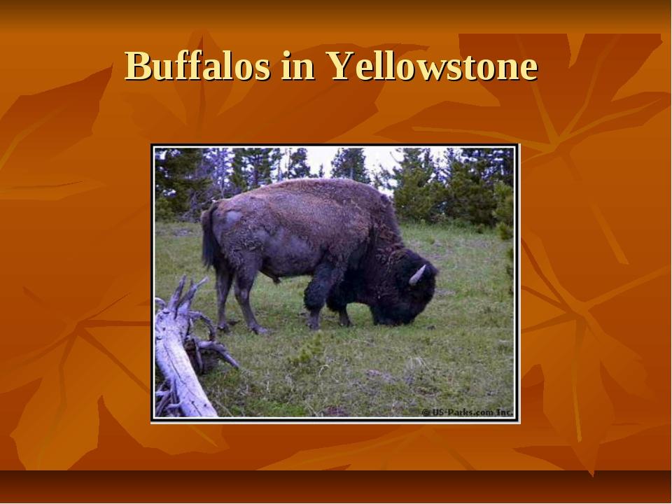 Buffalos in Yellowstone