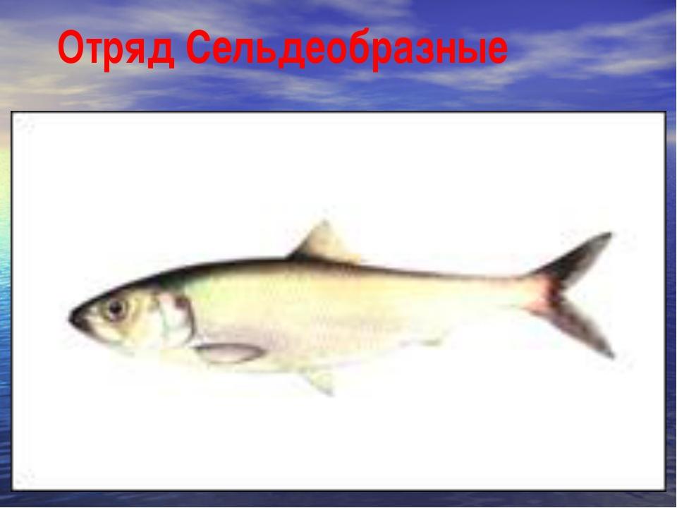 Отряд Сельдеобразные атлантическая сельдь европейский шпрот японский анчоус с...