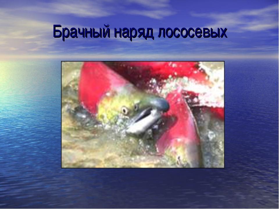 Брачный наряд лососевых