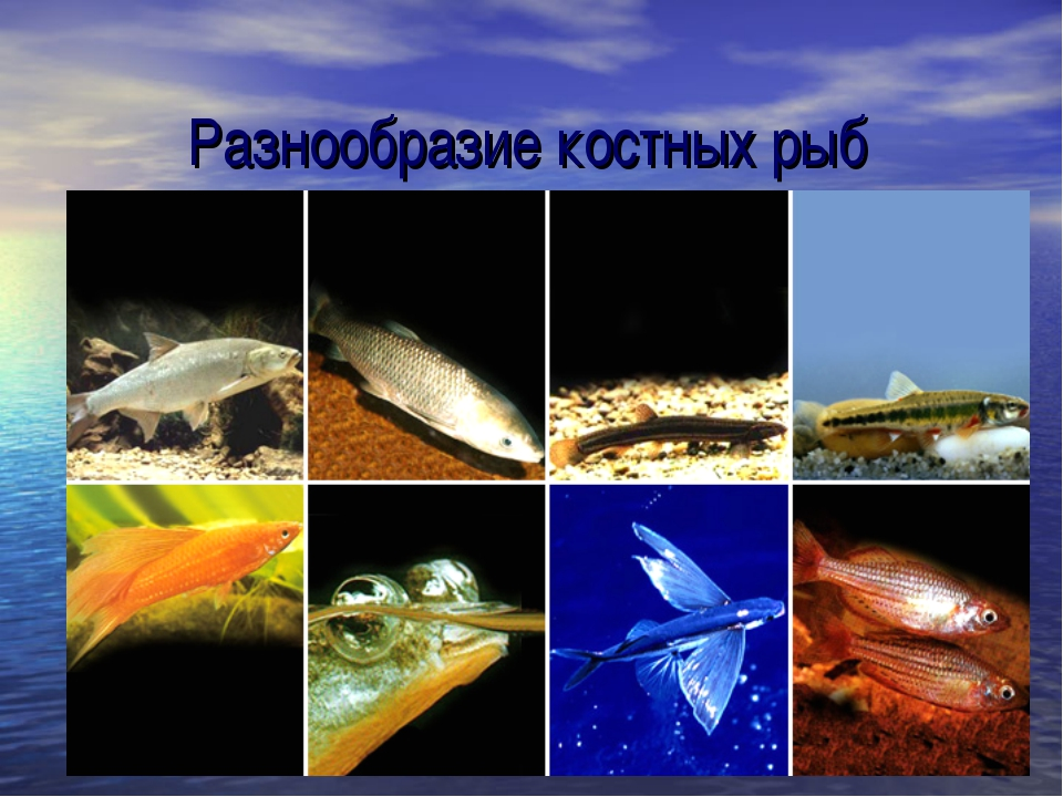 Разнообразие костных рыб