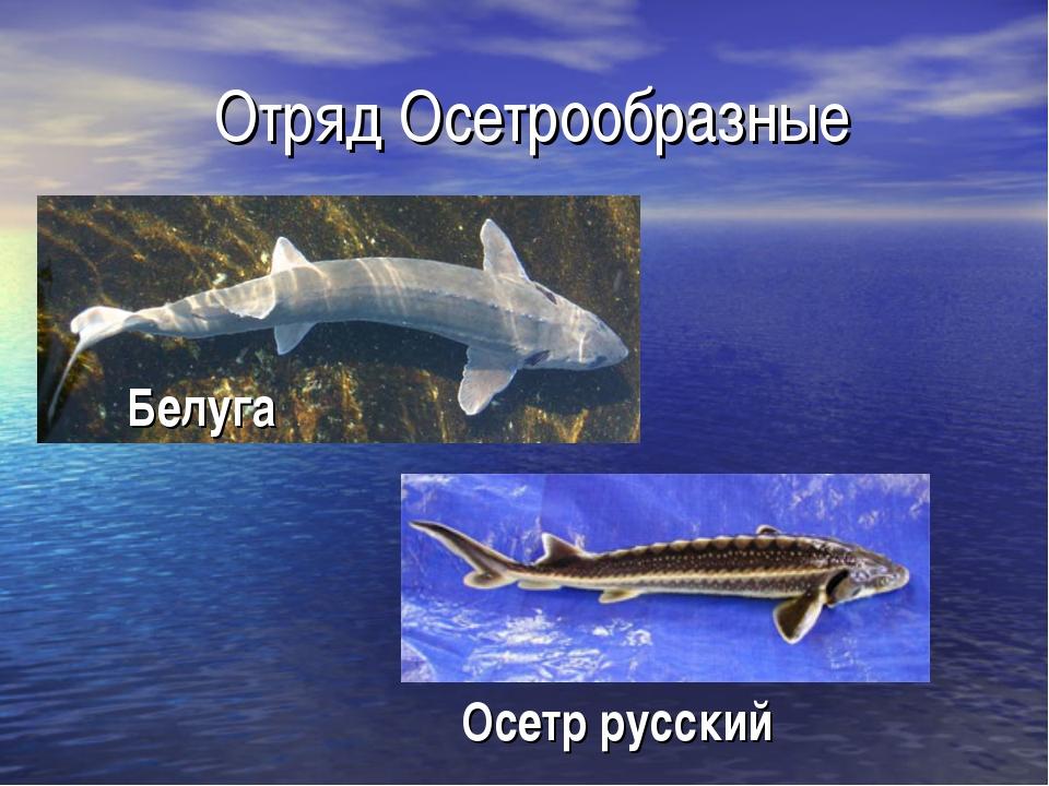 Отряд Осетрообразные Осетр русский Белуга