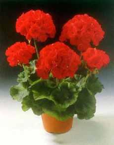 Лекарственные растения дома - пеларгония (герань)