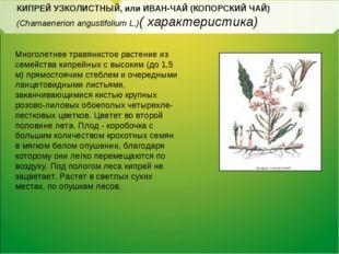 КИПРЕЙ УЗКОЛИСТНЫЙ, или ИВАН-ЧАЙ (КОПОРСКИЙ ЧАЙ) (Chamaenerion angustifolium