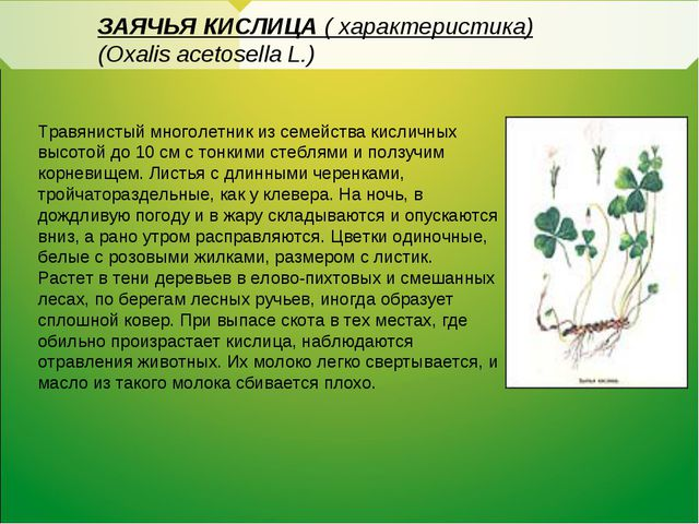 ЗАЯЧЬЯ КИСЛИЦА ( характеристика) (Oxalis acetosella L.) Травянистый многолет...