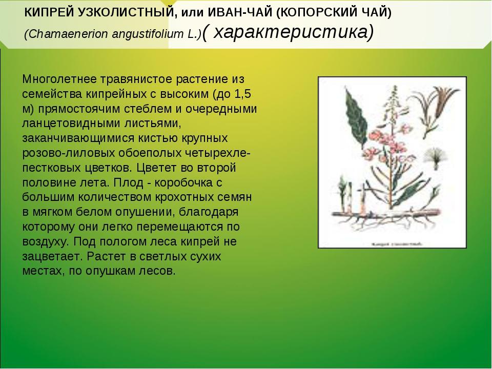 КИПРЕЙ УЗКОЛИСТНЫЙ, или ИВАН-ЧАЙ (КОПОРСКИЙ ЧАЙ) (Chamaenerion angustifolium...