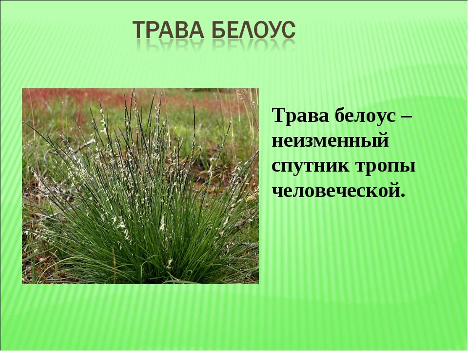 Трава белоус – неизменный спутник тропы человеческой.