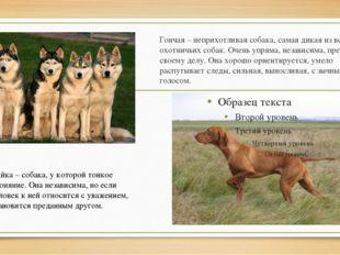 Гончая– неприхотливая собака, самая дикая из всех охотничьих собак. Очень уп