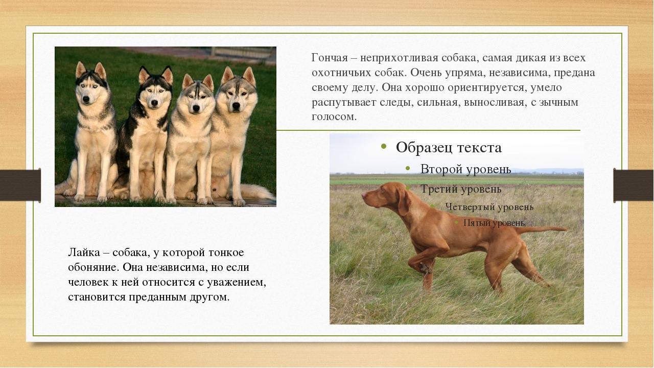Гончая– неприхотливая собака, самая дикая из всех охотничьих собак. Очень уп...