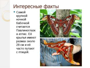 Интересные факты Самой крупной ночной бабочкой считается Павлиноглазка атлас.