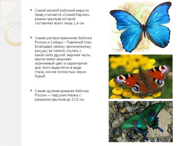 Самой мелкой бабочкой мира по праву считается «Синий Карлик», размах крыльев...