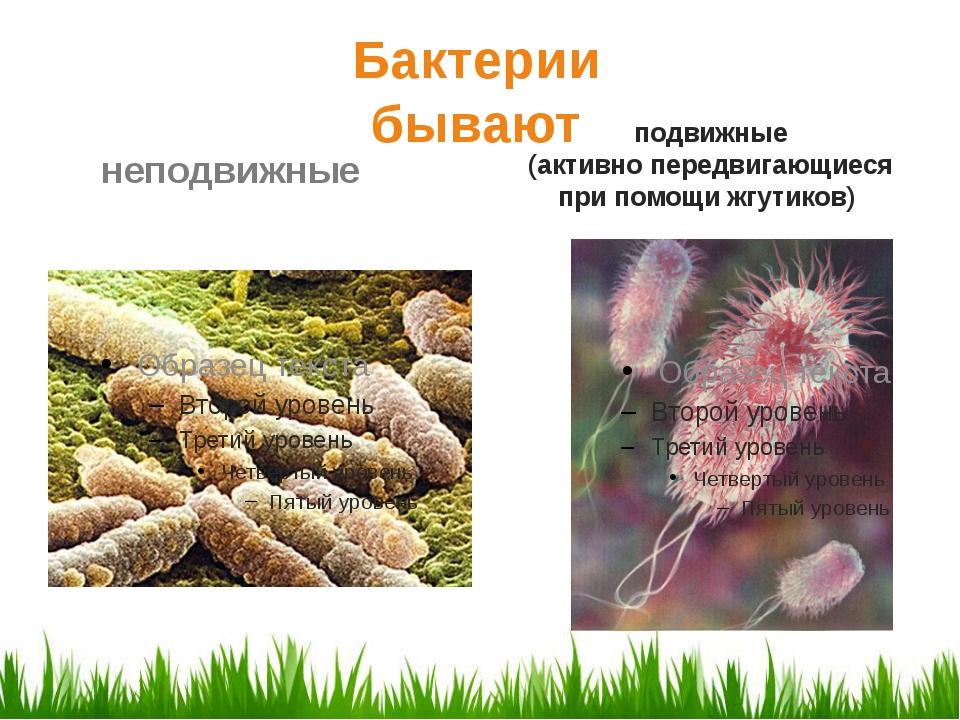 подвижные (активно передвигающиеся при помощи жгутиков) Бактерии бывают непо...