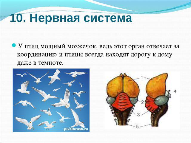 10. Нервная система У птиц мощный мозжечок, ведь этот орган отвечает за коорд...