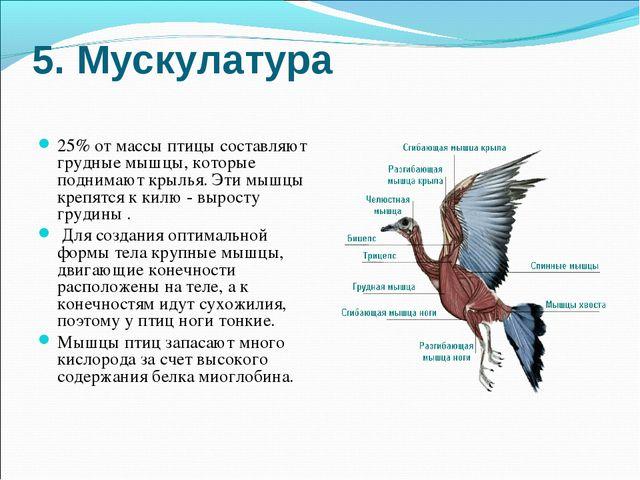 5. Мускулатура 25% от массы птицы составляют грудные мышцы, которые поднимают...