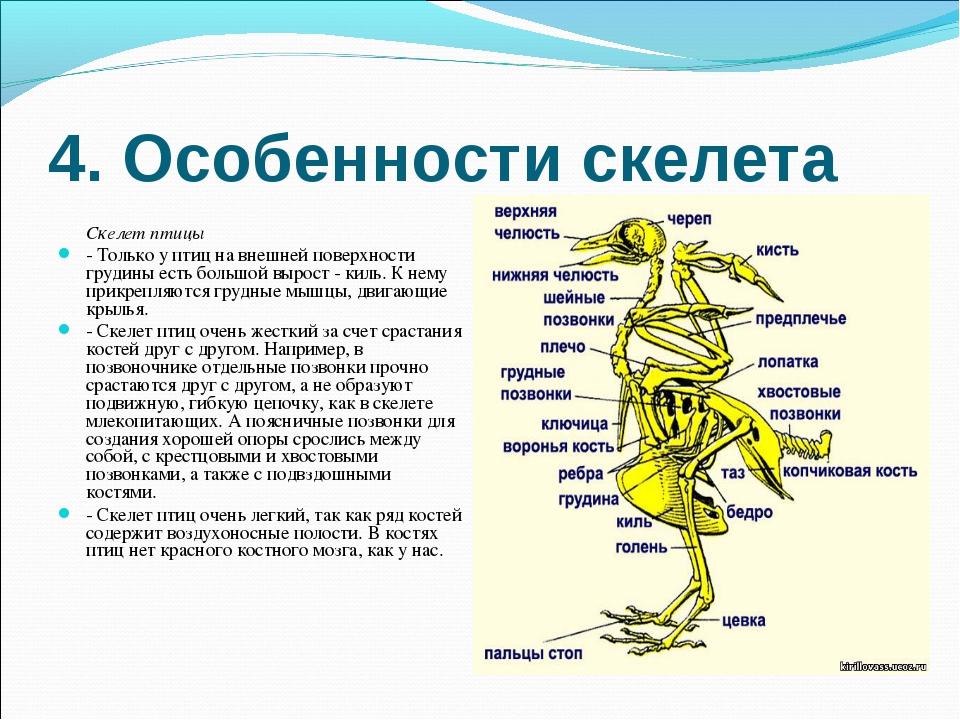 4. Особенности скелета Скелет птицы - Только у птиц на внешней поверхности гр...