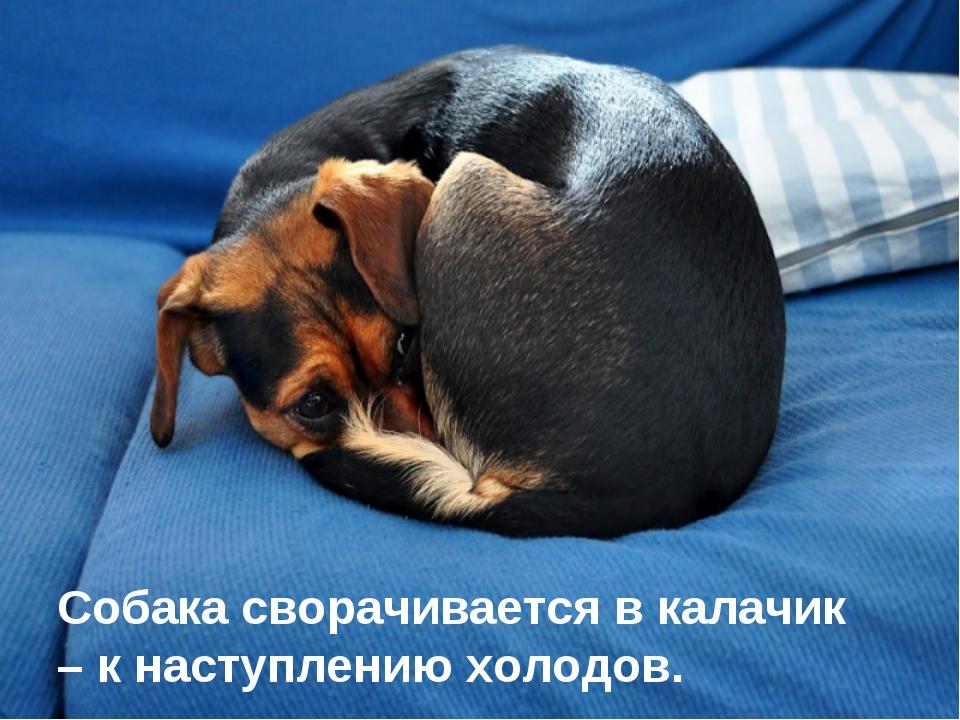 Собака сворачивается в калачик – к наступлению холодов.