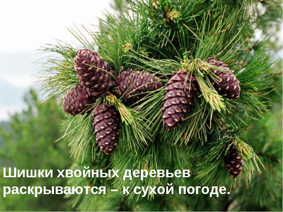 . Шишки хвойных деревьев раскрываются – к сухой погоде.